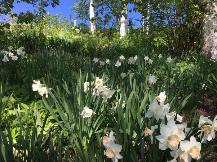 スイセン  チューリップの他に春の花といえばスイセンです。北海道の美しい青空に純白に輝くスイセン、白樺の幹の白がひき立ちます。