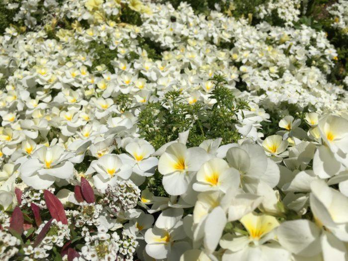 ドレスの下を見下ろせば一面純白の世界。眩しい程のビオラやアリッサムの花々です。  美しい景色を楽しむ反面、角度のある場所での花がら摘み…ガーデナーの方々の日頃の努力を感じます。