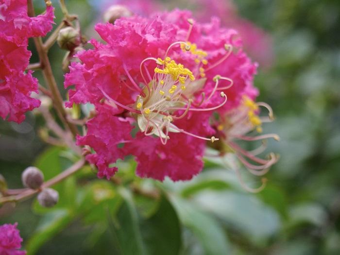 百日紅という和名の通り、長期間開花する夏の花です。白、赤、ピンクなど様々な色合いがあります。サルスベリの特徴は木の肌にもあります。樹皮はザラザラしているのですが、一度樹皮が剥がれ落ちると白い木肌が見えその部分はとてもつるつるしており滑ってしまいます。この肌はサルが木に登ろうとしても滑って落ちてしまいそうに見える事から「サルスベリ」と名付けられました。圧倒的に夏に目が引くサルスベリですが、晩秋の葉を落とした後は、裸の木に実がついた姿もかわいらしいので、機会があったら冬場に見ていただきたい花木です。