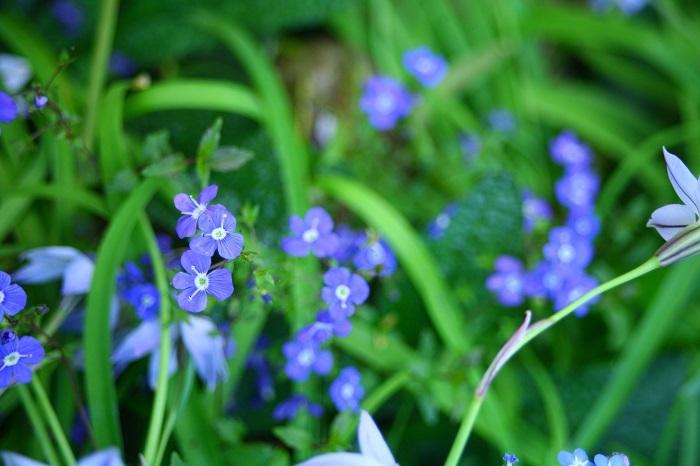 ベロニカ・オックスフォードブルーは性質が強く、一度根付けば特に世話がいらない草花です。這うように成長していくので、うまく根付けば花のかわいいグランドカバーになります。  ベロニカ・オックスフォードブルーは、分類的には宿根性ですが冬場も葉っぱがあるので、1年通してグランドカバーになります。耐寒性、耐暑性の両方とも強く、東京のような酷暑でもまったく問題なく育っています。ちょっと伸びたら切り戻しておくとよいので、管理も楽です。