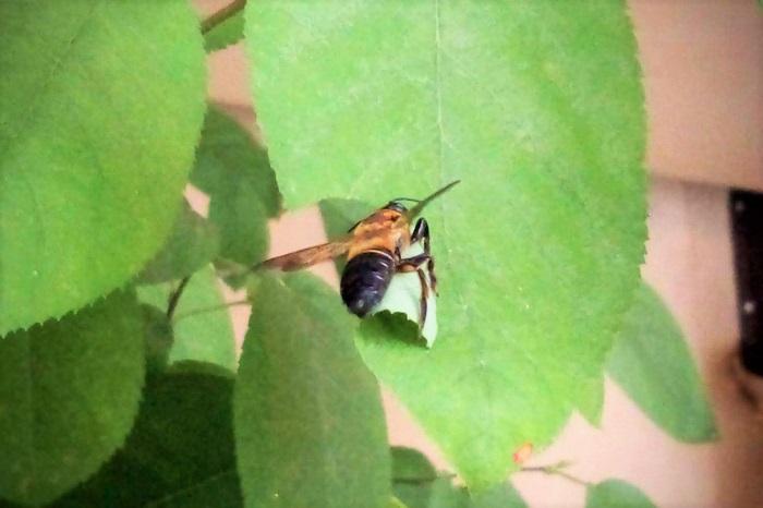 調べたところ、このお客様の正体は「ハキリバチ」という蜂の仲間でした。ハキリバチの仲間は種類が多くて種を限定するのは難しいので、ハキリバチという総称で呼ばせてもらいます。