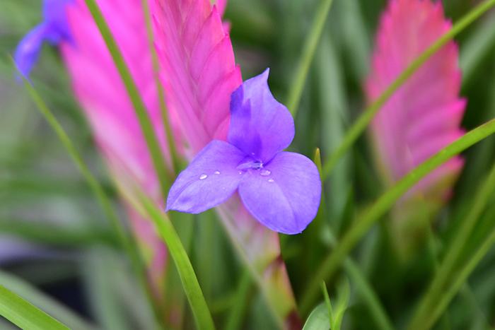 キアネアの花。ピンクの花序から紫色の花が綺麗。