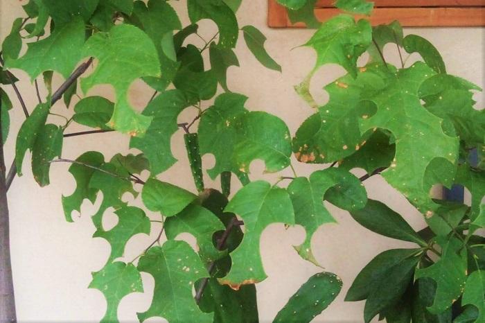 一通り必要な葉を集め終わったのでしょう。ハキリバチはある日を境にぱったりと来なくなってしまいました。ハキリバチが残していった跡がこの写真です。無残なまでに穴だらけ、と言いたいところですが、ここまできれいに切り取られたら、もう「芸術的!」と感嘆したくなります。