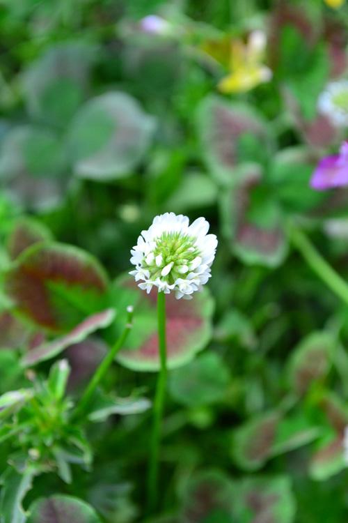 花は白い花が咲きます。