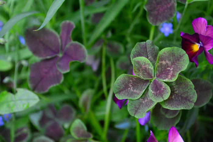 最近は、こんなシックな色合いの園芸種のクローバーもあります。