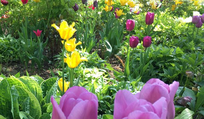 ホウノキが芽吹く頃、大雪 森のガーデンも新緑の季節がスタートします。植物たちの1年が本格的に始まります。この土地が春であることを教えてくれるのは、今咲いている草花たちです。梅雨間近の東京を離れて訪れた大雪 森のガーデンには色とりどりの春の花が咲いていました。
