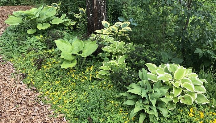 ホスタ(ギボウシ)も種類豊富に植えられています。斑入りのもの、大葉のもの、などなど・・・花芽が出てくる前のこの時期がホスタは一番きれいだと思うので、うっとりと見てしまいます。  通路に敷き詰められているウッドチップは園内の植物を剪定したあとの木くずをチップにしているんだそうです。