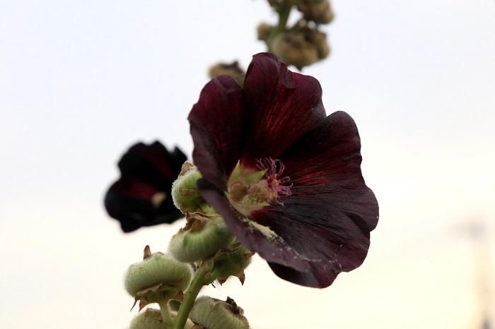 タチアオイ(立葵)は、ハイビスカスのような一重咲きの品種以外にも八重咲きの品種や、それよりも花びらが多いピオニー咲きの品種もあります。花色は赤やピンク、白に近い色が多くありますが、黒紫のような色もあります。