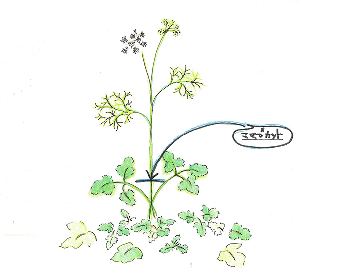 パクチー(コリアンダー)の花芽は注意していればすぐにわかります。通常のパクチー(コリアンダー)の葉とは違ったセリのような葉をつけ始めるからです。さらに花芽をつけた茎は、通常の葉を付けた茎よりも太くしっかりしています。このセリのような葉をつけた茎が、他を圧倒するようににゅいーんと伸びてきたら、要注意です。早めに摘み取るようにしましょう。パクチー(コリアンダー)の香り良い葉を長く楽しむコツです。
