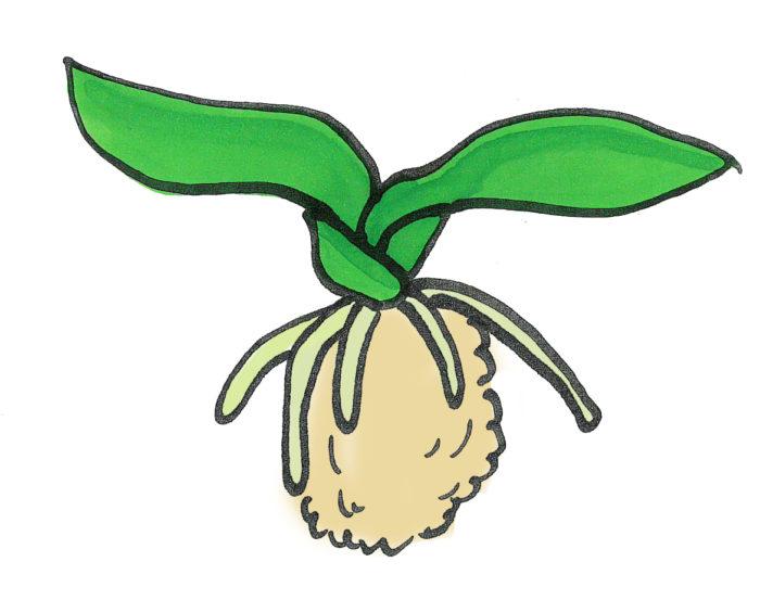 水苔を詰める前にバスケットのどの位置に植えるかを決めてから行うとスムーズに植えれます。位置が決まったら、水苔をダンゴ状にして中心部分に入れます。イラストのように寝の間に水苔を詰めます。