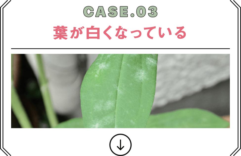 CASE.03 葉が白くなっている