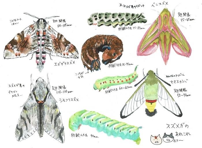 スズメガ科は、ウチスズメ科・スズメガ亜科・ホウジャク亜科にわけられます。