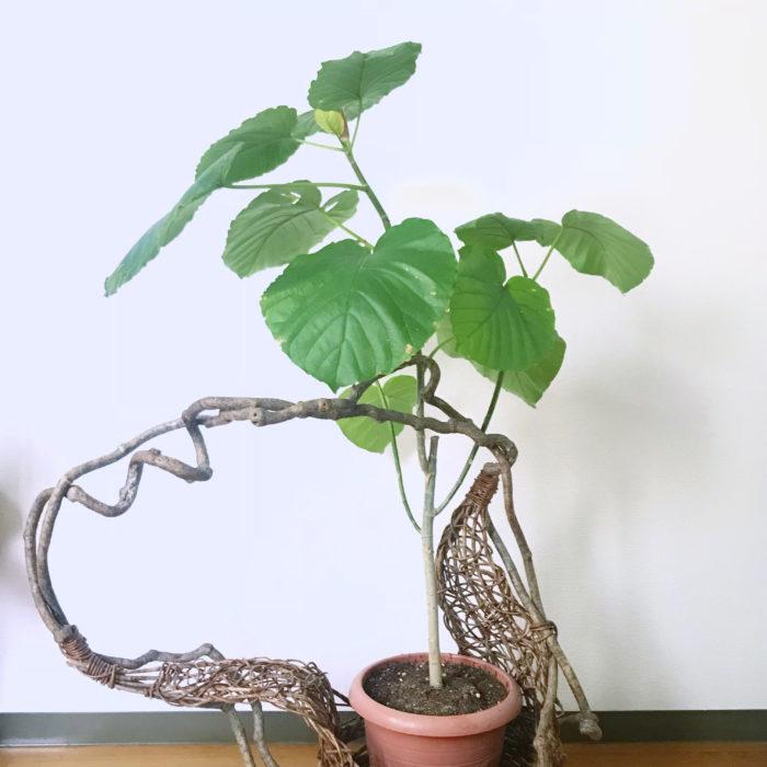 フィカス・ウンベラータは熱帯アフリカ原産のクワ科の植物です。 葉の色が明るめなので、置くと周りの印象までパッと明るくなりますよ。北欧風やナチュラルなイメージの部屋に合います。 小さいものも出回っていますが、葉が大きく1~2メートルほどの高さがあるものが一般的なので、リビングのシンボルツリーにおすすめです。