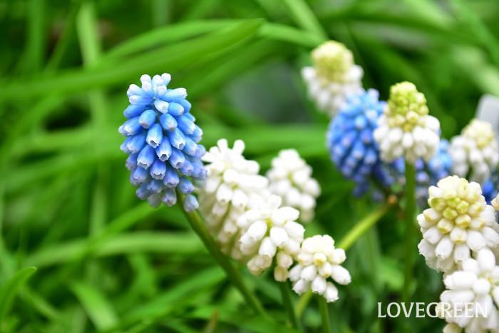 ブドウを逆さにしたようなブルーの花を咲かせる球根植物です。ムスカリの可愛らしさは小さなつぶつぶとした花です。庭植えにしておくと勝手に分球して増えてくれます。