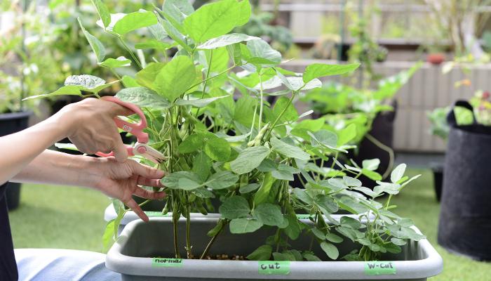 栽培 枝豆