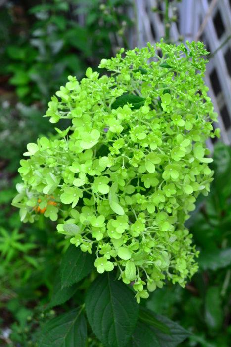 ノリウツギはアジサイ科の落葉低木。アジサイの開花は6月ですが、ノリウツギはアジサイの花がそろそろ見ごろの終わる7月に咲くアジサイです。