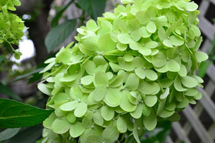 普通のアジサイとノリウツギやアナベルのような新枝咲きのアジサイをお庭に植えると、6月はアジサイ、7月以降は新枝咲きのアジサイと、3~4ヶ月アジサイの花を庭で楽しむことができます。剪定も簡単な夏に咲くノリウツギはとてもおすすめの花木のひとつです。