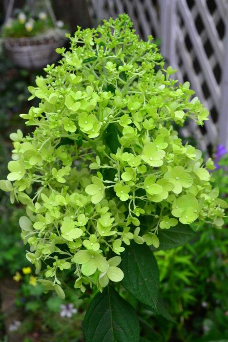 ノリウツギ・ライムライト  ノリウツギはアジサイ科の落葉低木。アジサイの開花は6月ですが、ノリウツギはアジサイの花がそろそろ見ごろの終わる7月に咲くアジサイです。  ノリウツギ・ライムライトはライムグリーン色の花が美しい品種。ライムライト以外にもグリーン色の花の品種はいくつかあります。ノリウツギもアナベルと同じく新枝咲きのアジサイのため、秋まで剪定をせずに秋色グリーンになる様子を楽しむことができます。