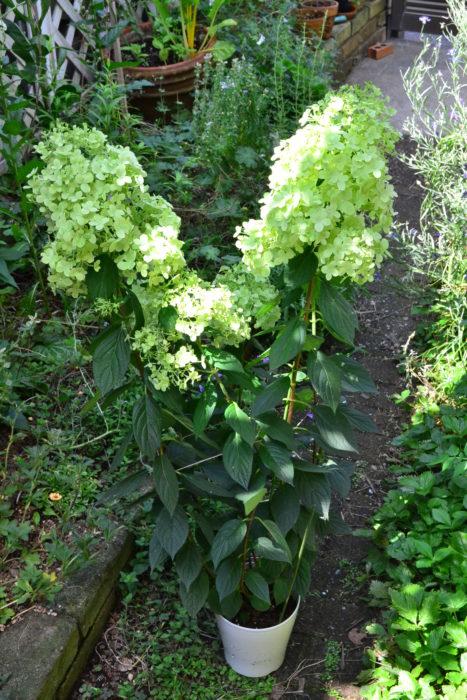 開花しているノリウツギ・ライムライトの流通は6月~7月。写真のように小さめの鉢でも1m近くの花丈のものが出回ります。ノリウツギをはじめとしたアジサイ類は、水をとても欲しがる花木です。買った後に控えている真夏に水切れを起こさないように注意しましょう。