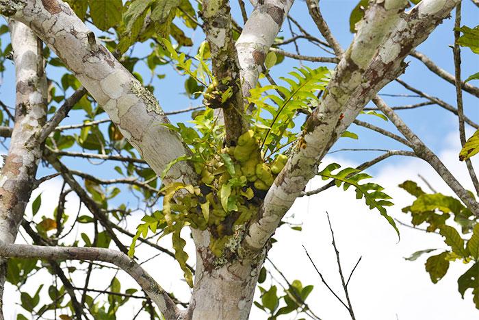 レカノプテリス・セレビカ 根茎の中が空洞になり、アリが住むアリノスシダ。
