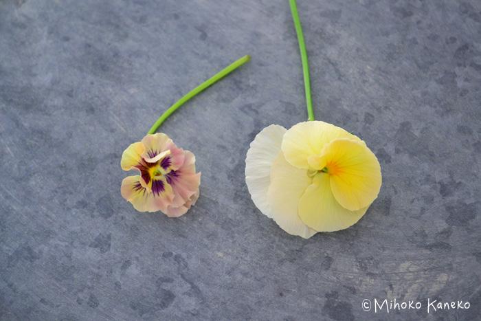パンジー  こちらは両方ともパンジー。同じパンジーでも種類によって、花のサイズは様々です。