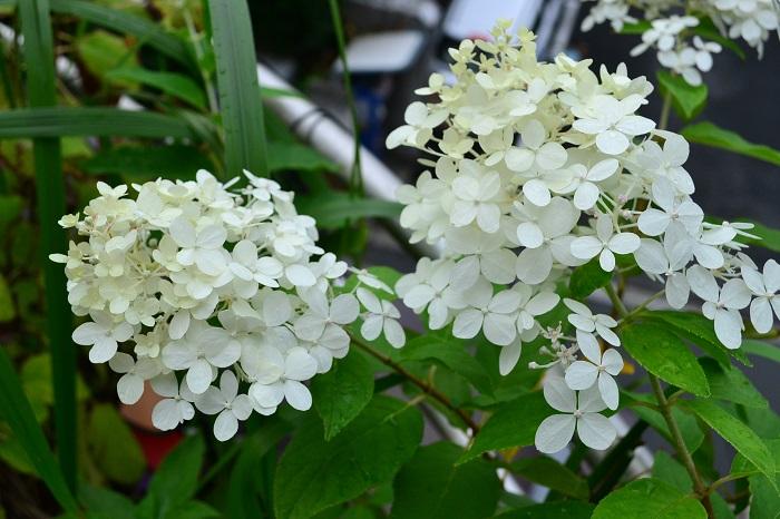 ノリウツギ・ライムライトは、環境によっては秋にも返り咲く性質があります。  こちらはLOVEGREEN編集部に2018年初夏に植えたノリウツギ・ライムライト。10月に返り咲きました。初夏は完全な白にはなりませんでしたが、秋に咲いた花は白系。花の大きさは初夏の半分以下のサイズでした。