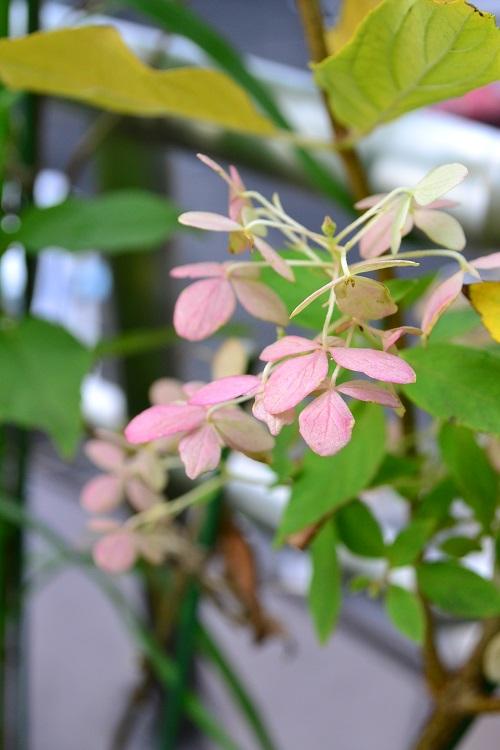 秋色のノリウツギ・ライムライト  初夏に咲いたノリウツギを剪定せずにそのまま秋まで管理していると、ガクの色が写真のような秋色に変化します。寒冷地などの朝晩の気温差が激しい地域の方がきれいに秋色になりやすい傾向にあります。