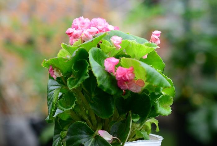 この苗を選んだ理由 明るい色の花が咲くメインの苗として、愛らしい八重咲きのベコニアを選びました。4~10月頃に花が次々と咲きます。  育て方のコツ 直接雨が当たらない風通しの良い日なた~半日陰を好み、真夏の直射日光は苦手です。春と秋はよく日に当てて育てましょう。水やりは土の表面が乾いたら株元にたっぷりとあげます。 寒さに弱く、日本の気候では一年草として扱われます。挿し木で増やすことができます。