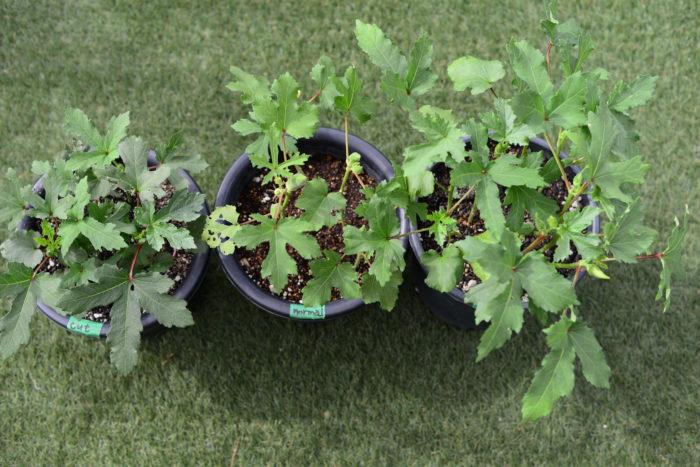左:胚軸切り育苗ポットごと植え 中央:プランターに直まき 右:育苗ポットごと植え  ご覧の通り「育苗ポットごと植え」が草丈、葉の大きさ、実と葉の数ともに多くよく生長しています。続いて「プランターに直まき」のオクラの生長が目立ちますが、よく見ると「胚軸切り育苗ポットごと植え」の濃い緑色の葉、葉の大きさが目立ちます。スロースターターなのかもしれませんので、引き続き生育を見守りたいと思います。