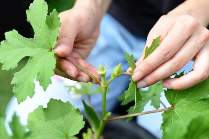 オクラの花が終わったら、今度は実ができます。開花してから約1週間~10日がオクラの収穫時期になりますので、見逃さないようにしましょう。