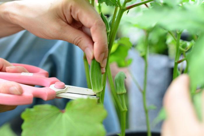 収穫せずにそのままにしておくとぐんぐん生長して、オクラの実がとても固くなります。 若いうちに、さやの付け根からハサミでカットして収穫しましょう。