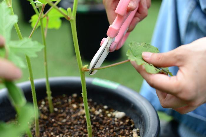 収穫後は摘葉(てきよう)といって葉が混み入っている場合は、収穫した実から下の葉は1〜2枚残すか、全てかき取り風通し良く管理しましょう。