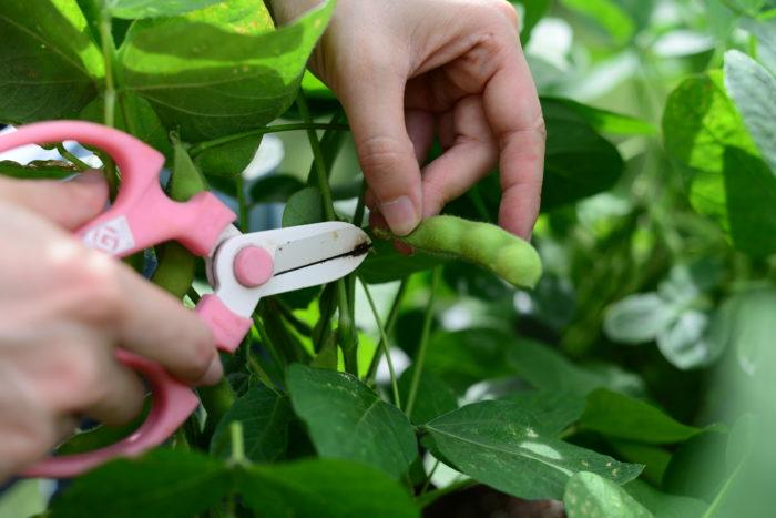 枝豆、収穫、コンパニオンプランツ