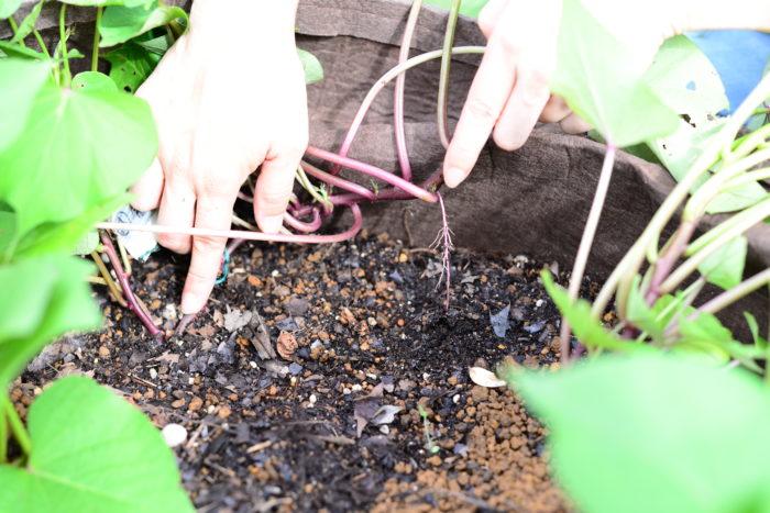 黄葉取り、害虫駆除にもつながる「つる返し」という作業。つるが伸び、土に接した部分から根が出てしまうことでそこからまたさらにさつまいもができてしまいます。必要以上のさつまいもを作ると量ばかりが増え、収穫できるさつまいもは小さくなり質が落ちてしまいます。  斜め植えや垂直植えなど質と量のバランスを考えたさつまいもの植え付け方をしています。これ以上余分な収穫を増やさないためにする作業が「つる返し」です。  作業の頻度は1週間に1回程度で構いませんので、つるを持ち上げ黄葉を取り、害虫を駆除して、余計な根の部分を土から抜き取りましょう。  栽培スペースが狭い場合は、つる返しをしなくでも支柱をたてて上につるを誘引することでスペースも小さく収まり、風通しも良くなり、サツマイモの葉に陽をまんべんなく当てることができます。  袋でさつまいもを栽培している方は、つる返しというよりも黄葉取りと害虫駆除に集中しましょう。