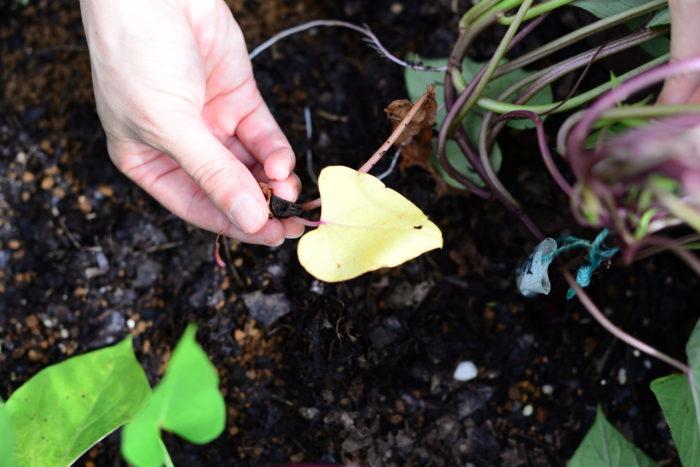 上から見るとさつまいもは緑の葉ばかり見えますが、つるを持ち上げて株元を見てみると古くなり黄色くなった葉が出てきます。黄葉や枯葉を土の上にそのままにしておくとナメクジやダンゴムシなどの害虫の住みかとなり、せっかくできたさつまいもを食べられてしまいますので、取り除きましょう。