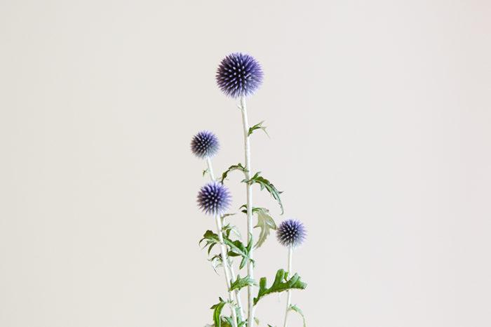 丸い花「ルリタマアザミ」。手触りは少し硬いですが、この大きさと色味、自然光を浴びる姿は透明感があり、見れば見るほど吸い込まれてしまいそうな花です。  そんな、ルリタマアザミはスワッグとしても活躍し、また違った表情を見せてくれます。