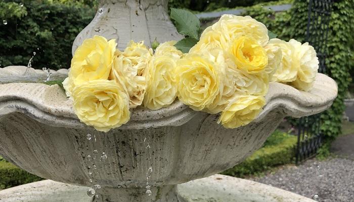 噴水には黄色いバラが飾ってありました。朝の光に照らされています。
