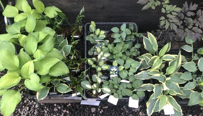 こちらはいろいろな種類のホスタ。ガーデンの中であれだけ魅力的なホスタをたくさん見ると、この苗たちが家の庭で大きく育つところを想像してニコニコしてしまいます。