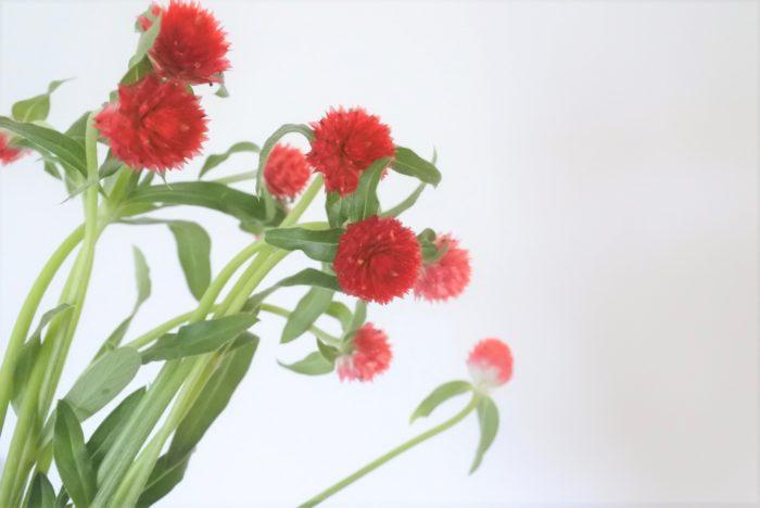 赤いものはキバナセンニチコウ(黄花千日紅、G. haageana)という種類です。  写真のイチゴのような千日紅(センニチコウ)はその名もストロベリーフィールズ。花壇にたくさん咲いていたら、イチゴ畑のようですね。