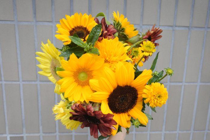 ヒマワリは北アメリカ原産の一年草です。 学名のHelianthusはギリシャ語の「helios=太陽」と「anthos=花」が合わさった名前です。日本名の「向日葵」、英名の「sun flower」、フランス名の「soleil」など、どれも「太陽(日)」がもとになっていますね。他の多くの言語でも太陽をもとにした名前がつけられており、世界中でヒマワリは「太陽の花」と例えられていることがわかります。