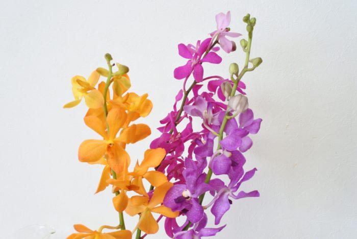 バンダ属、アラクニス属、アスコセントラム属の3種のランを交配して人工的育種されたランです。先が丸く肉厚で鮮やかな色の花弁が特徴です。
