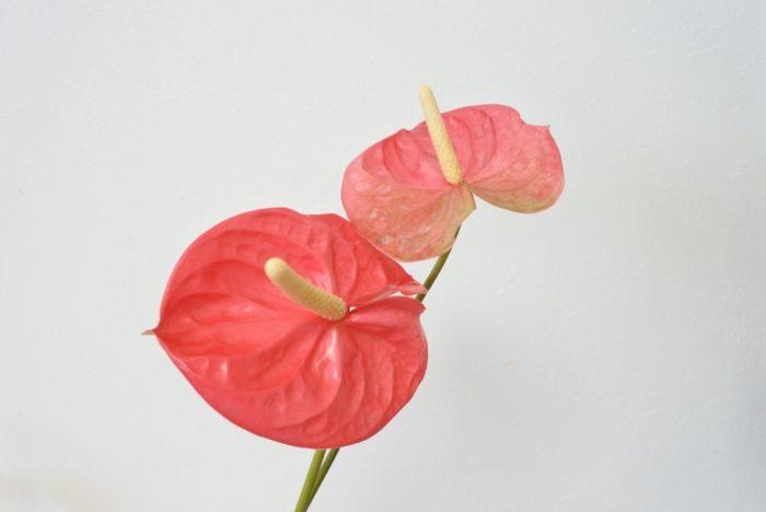 熱帯に生息するサトイモ科の植物です。赤やピンク色でハート型の花弁に見えるものは仏炎苞(ぶつえんほう)と呼ばれる苞葉(ほうよう=葉が変形したもの)で、黄色い部分が肉穂花序(にくすいかじょ)と呼ばれる、小花が密集している花部分になります。