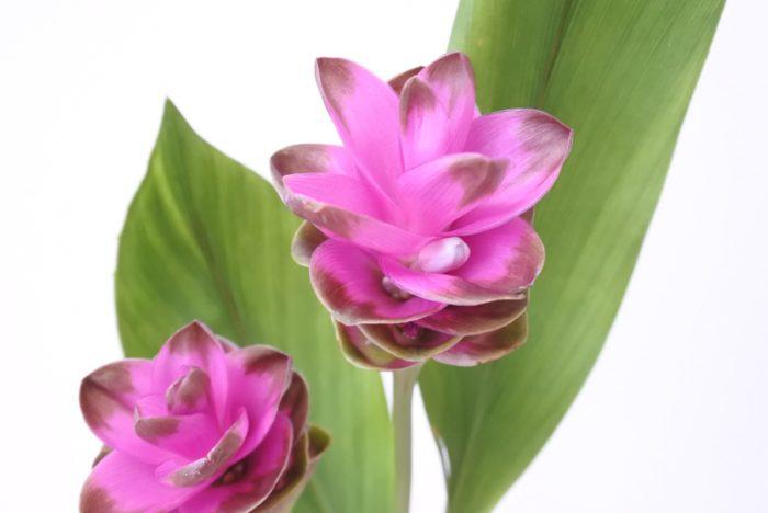 ショウガの仲間です。花弁のように見える部分は包葉(ほうよう)と言う花を包んでいる葉で、中に見える白っぽいものが花です。