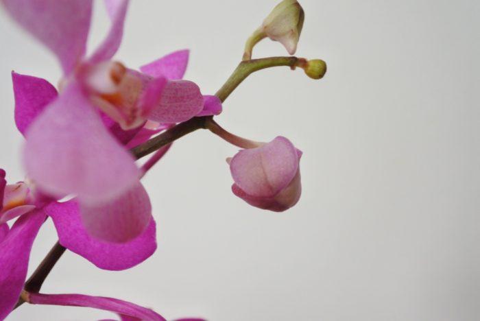 ランは下の花から咲いていきます。大きく膨らんでいる蕾は咲くことが多いので、その過程を観察するのも楽しいですよ。