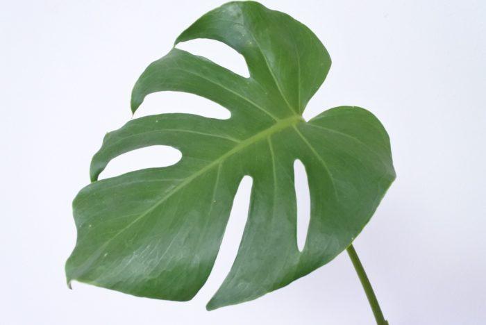 大きくスリットの入った葉が印象的な葉です。ハワイの服や小物のデザインにもよく使われていますね。