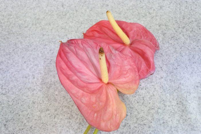 アンスリウムは古くなると肉穂花序の先端から黒くなっていきます。お花屋さんで選ぶ時も注意して見てみてくださいね。