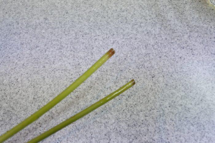 生けて1~2日すると茎の先端から黒くなってきます。