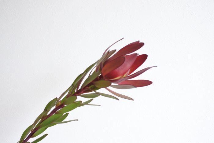 サファリサンセット  スッと縦に長い葉と、緑から深い赤へのグラデーションが美しいですね。  ブーケやアレンジメントを作る時と同じように、違う色や形の植物を組み合わせるとバランスを取りやすく、見た目も華やかになります。