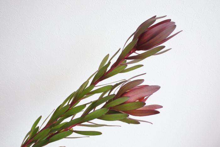 学名…Leucadendron  別名…和名「銀葉樹」英名「Silver leaf tree」  科、属名…ヤマモガシ科、リューカデンドロン属  分類…常緑低木  原産地…南アフリカ  花言葉…「沈黙の恋」「閉じた心を開いて」  花に見える部分は苞葉(ほうよう)で、小さな花がその中にあります。  学名のLeucadendronはギリシャ語の「 leukos =白」と「 dendron =木」が語源になっています。名前の通り銀葉のものもありますが、赤や緑など様々な種類が出回っています。その中から今回は2種類使用しました。