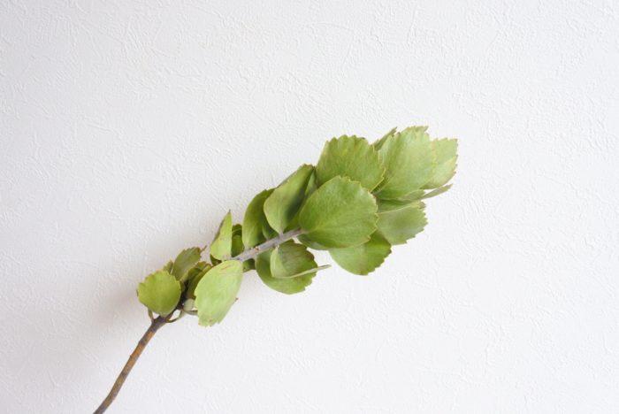 葉が全体的に丸く、上半分がギザギザしています。長いまま使っても、途中で切って葉を花のように広げて見せても特徴的でかわいいですね。